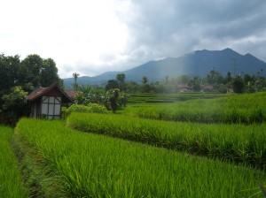 sawah.padi organik sri
