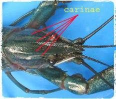 carinae-cherax-quadricarinatus-budidaya-lobster-air-tawar-organikganesha
