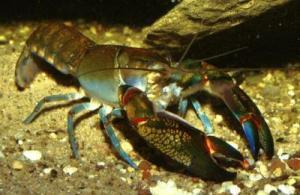 lobster.cherax-destructor