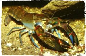 cherax-destructor-budidaya-lobster-air-tawar-organikganesha