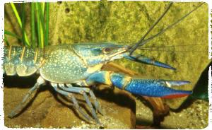 cherax-quadricarinatus-budidaya-lobster-air-tawar-organikganesha