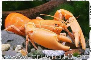 lobster-cherax-orange-budidaya-lobster-air-tawar-organikganesha
