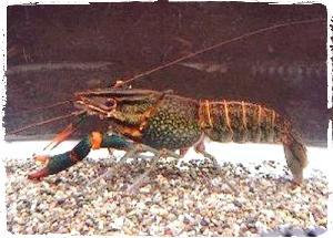 lobster-cherax_albertisi_budidaya-lobster-air-tawar-organikganesha