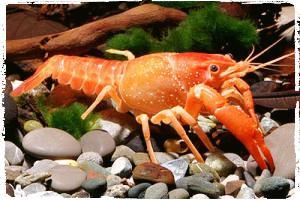 lobster-procambarus-clarkii-budidaya-lobster-air-tawar-organikganesha