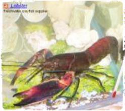 lobster-super-red-papua-budidaya-lobster-air-tawar-organikganesha