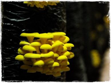 yellow-oyster-jamur-tiram-kuning-rumajamur-vert