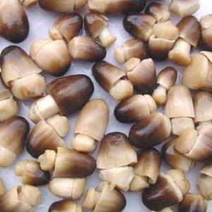 jamur merang-Volvariella volvaceae