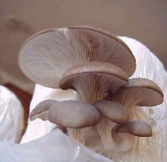 pleurotus-ostreatus-jamur tiram
