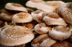 Shiitake-jamur shitake