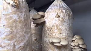 tumbuh-jamur-dalam-baglog