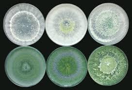 penyebab kontaminasi pada media baglog jamur disebabkan trichoderma