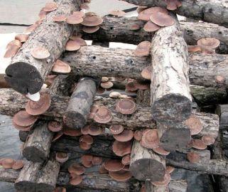 budidaya jamur shiitake pada media batang kayu