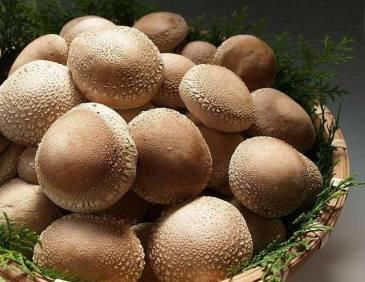 jual-jamur-shiitake-segar-indonesia