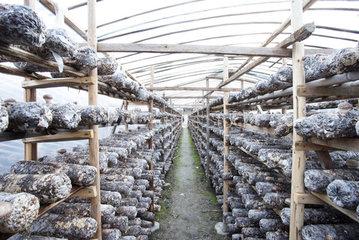 kebun jamur shiitake dengan media baglog budidaya jamur shiitake di Indonesia