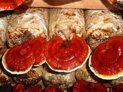 usaha budidaya jamur lingzhi