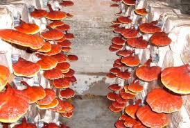 budidaya jamur lingzhi sang raja herbal