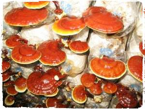 ganoderma-lucidum-jamur-lingzhi-reishi-mushroom-jamur-1001-khasiat
