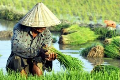 ketahanan-pangan-kedaulatan-pangan-petani-padi-pertanian-organik