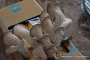 growing-mushrooms-at-home-1-600x400
