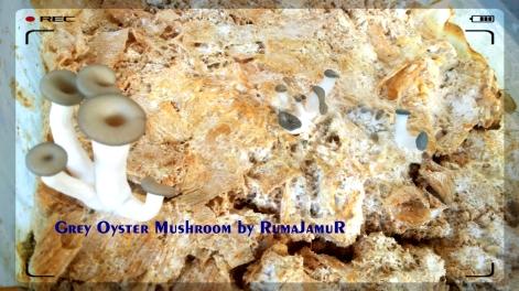 jamur tiram abu. grey oyster mushroom by RumaJamuR