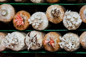 jenis jenis jamur tiram