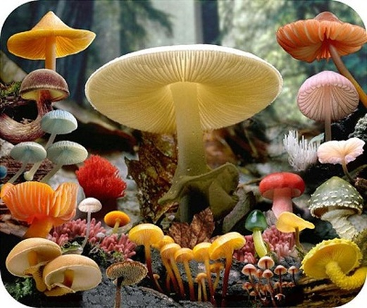 kingdom fungi.jamur
