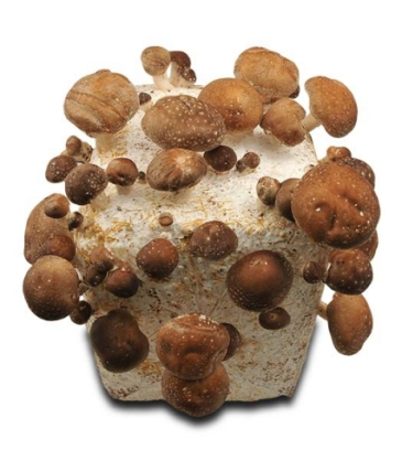 baglog-shiitake-jamur-shiitake-budidaya-jamur-shiitake-jual-jamur-shiitake
