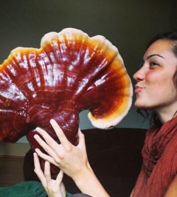 jamur ganoderma lucidum-lingzhi