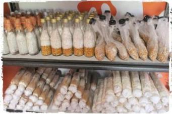 sub usaha bisnis jamur-jual-bibit-jamur-produksi-rumajamur-ganesha mycosoft-perusahaan jamur bandung indonesia