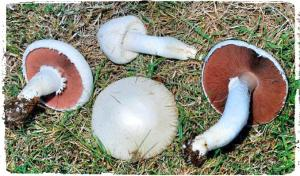 agaricus-campestris-jamur-kancing-abu-abu-putih