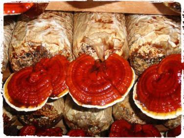 jenis jenis jamur. bibit-lingzhi-dan-cara-budidaya-jamur-lingzhi-ganoderma-lucidum