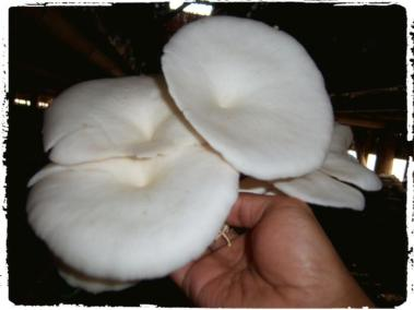 jamur-tiram-dewasa-untuk-kultur-spora