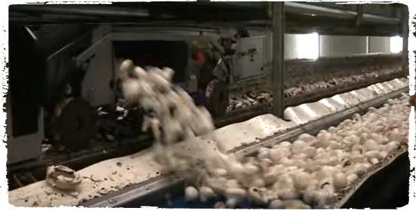 panen jamur super cepat dengan mekanisasi