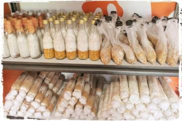 pusat-produksi-bibit-jamur-rumajamur-ganesha-mycosoft