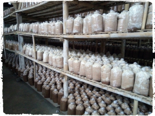 usaha budidaya jamur tiram. panen jamur tiram. pertumbuhan jamur tiram rumajamur bandung. white oyster mushroom perusahaan jamur pusat pelatihan jamur 3