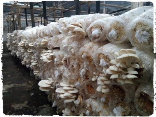 budidaya jamur tiram putih bersama rumajamur perusahaan jamur bandung indonesia oyster mushroom